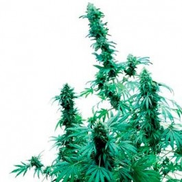 EARLY SKUNK REGULAR - Samsara Seeds - Sensi Seeds
