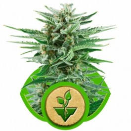 EASY BUD AUTO - Samsara Seeds - Royal Queen Seeds