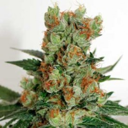 FUEL OG - Samsara Seeds - Ripper Seeds