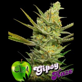 GIPSY HAZE - Samsara Seeds - Eva Seeds