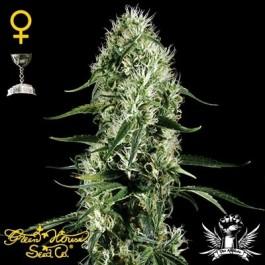 SUPER SILVER HAZE - Samsara Seeds - GreenHouse