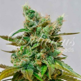 Honeybells - Samsara Seeds - Delicious Seeds