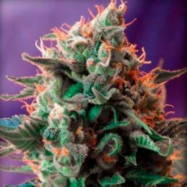 Jack 47 - Samsara Seeds - Sweet Seeds