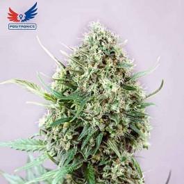 Jack Diesel - Samsara Seeds - Positronics