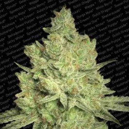 JACKY WHITE - Samsara Seeds - Paradise Seeds