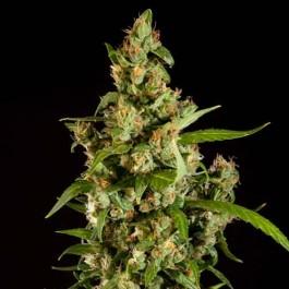 Jamaican Blueberry BX Regular - Samsara Seeds - Philosopher Seeds