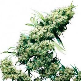 JAMAICAN PEARL REGULAR - Samsara Seeds - Sensi Seeds