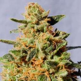 White Domina - Samsara Seeds - Kannabia