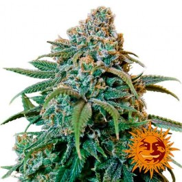 1 - Samsara Seeds - Barney's Farm