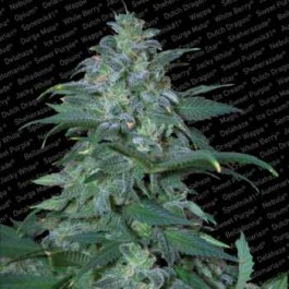 MAGIC BUD - Samsara Seeds - Paradise Seeds