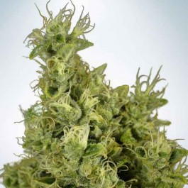 Mandarin Haze - Samsara Seeds - Ministry of Cannabis