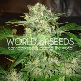 MAZAR KUSH - Samsara Seeds - World of Seeds