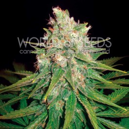 Mazar x Great White Shark - Samsara Seeds - World of Seeds