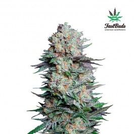 MEXICAN AIRLINES - Samsara Seeds - FastBuds