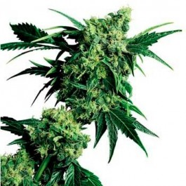 MR. NICE G13 X HASH PLANT REGULAR - Samsara Seeds - Sensi Seeds