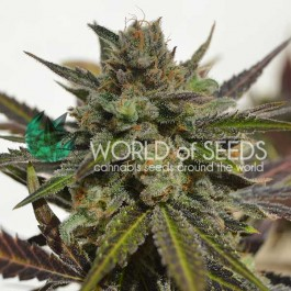 Northern Light x Skunk - Samsara Seeds - World of Seeds