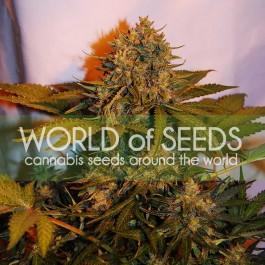 NORTHERN LIGHT X BIG BUD RYDER - Samsara Seeds - World of Seeds