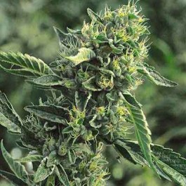 OG KUSH REGULAR - Samsara Seeds - Humboldt Seeds