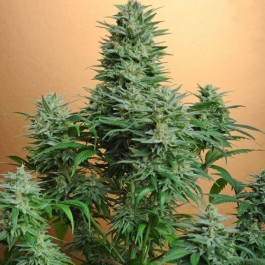 PAPAYA FEM 5 SEEDS - Samsara Seeds - Nirvana