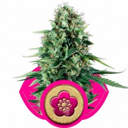 POWER FLOWER - Samsara Seeds - Royal Queen Seeds