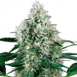 Pure Power Plant Automatic - Samsara Seeds - Sensi White Label
