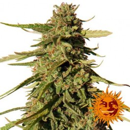 RED CHERRY BERRY - Samsara Seeds - Barney's Farm