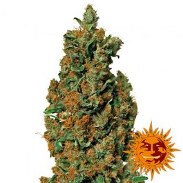 RED DIESEL - Samsara Seeds - Barney's Farm