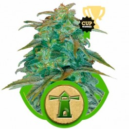 ROYAL HAZE AUTOMATIC - Samsara Seeds - Royal Queen Seeds
