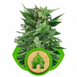 ROYAL KUSH AUTOMATIC - Samsara Seeds - Royal Queen Seeds