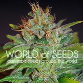Skunk 47 - Samsara Seeds - World of Seeds
