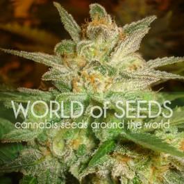 Star 47 - Samsara Seeds - World of Seeds