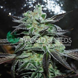 Strawberry Blue - Samsara Seeds - World of Seeds