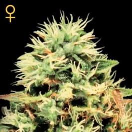 SUPER BUD - Samsara Seeds - GreenHouse