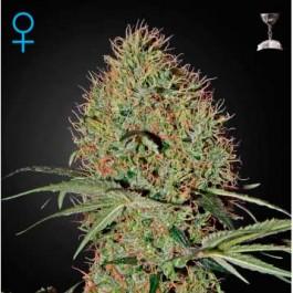 Super Bud Auto - Samsara Seeds - GreenHouse