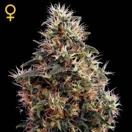 Sweet Mango Auto - Samsara Seeds - GreenHouse