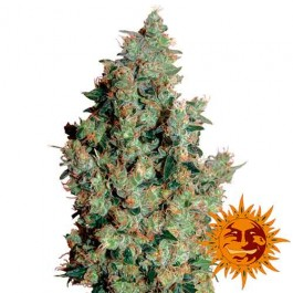 TANGERINE DREAM - Samsara Seeds - Barney's Farm