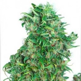 Think Different - Samsara Seeds - Dutch Passion