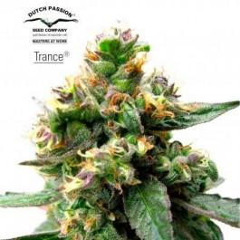 TRANCE - Samsara Seeds - Dutch Passion