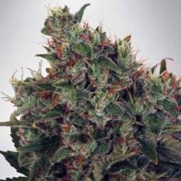 Ultra White Amnesia - Samsara Seeds - Ministry of Cannabis