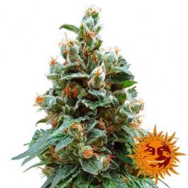VANILLA KUSH - Samsara Seeds - Barney's Farm
