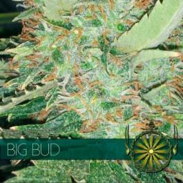 BIG BUD - Samsara Seeds - Vision Seeds