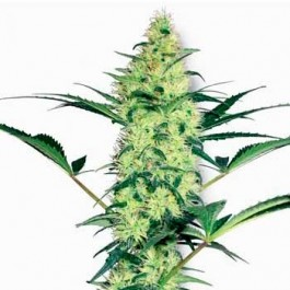 WHITE DIESEL FEM - Samsara Seeds - Sensi White Label