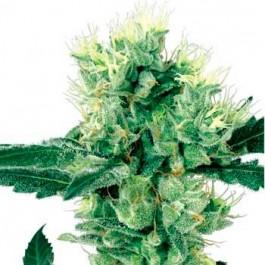 WHITE HAZE REGULAR - Samsara Seeds - Sensi White Label