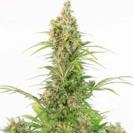White Widow Autoflowering CBD - Samsara Seeds - Dinafem