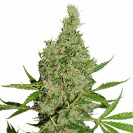 White Widow x The Ultimate - Samsara Seeds - Dutch Passion