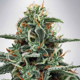 White Widow - Samsara Seeds - Ministry of Cannabis