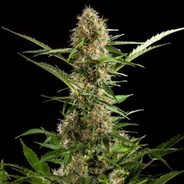 White Yoda Auto - Samsara Seeds - Philosopher Seeds