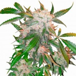 White Widow - Samsara Seeds - Dutch Passion