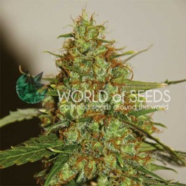 WILD THAILAND RYDER - Samsara Seeds - World of Seeds