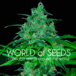Wild Thailand - Samsara Seeds - World of Seeds
